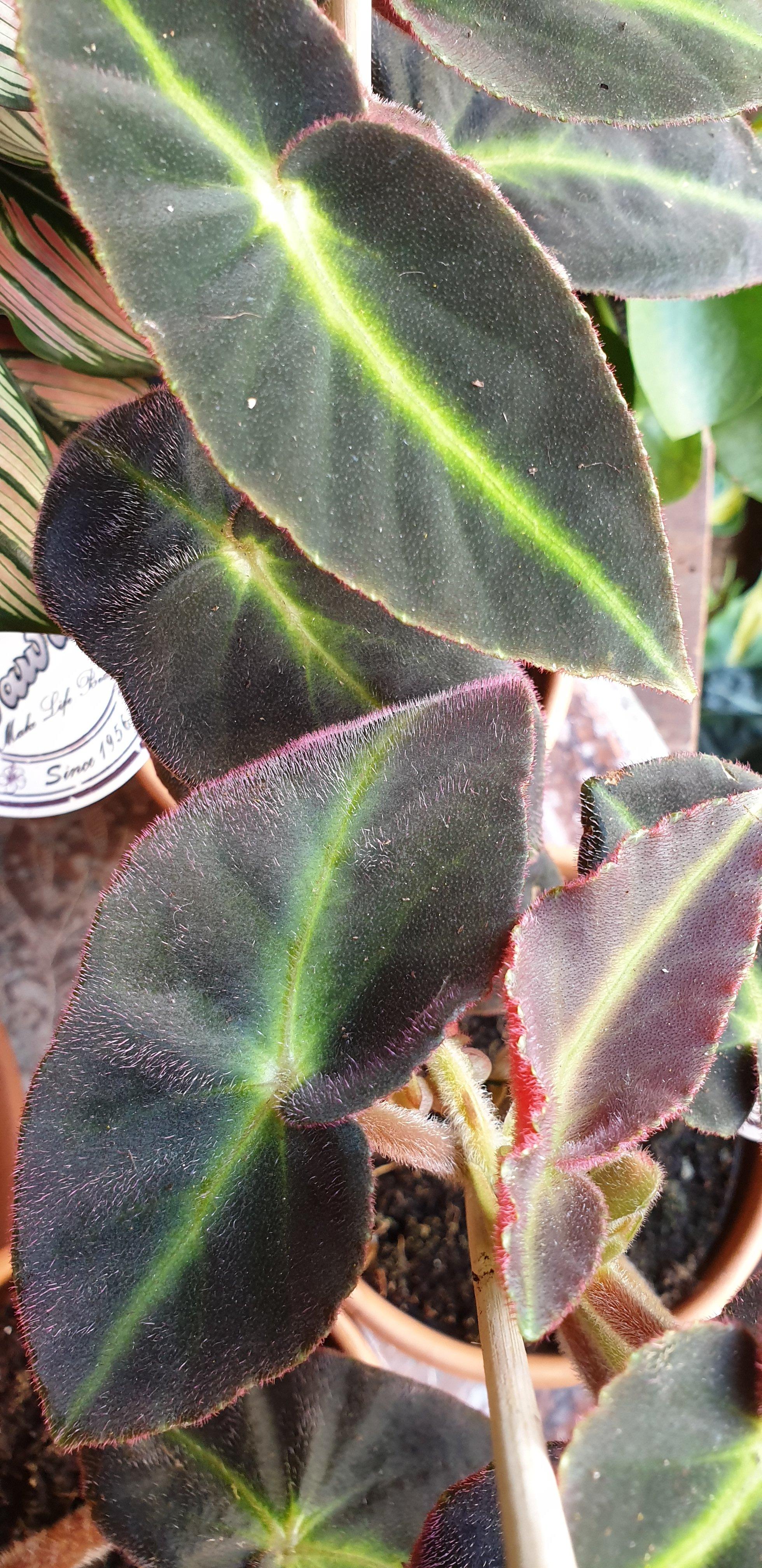 Plant van de maand: beautiful begonia