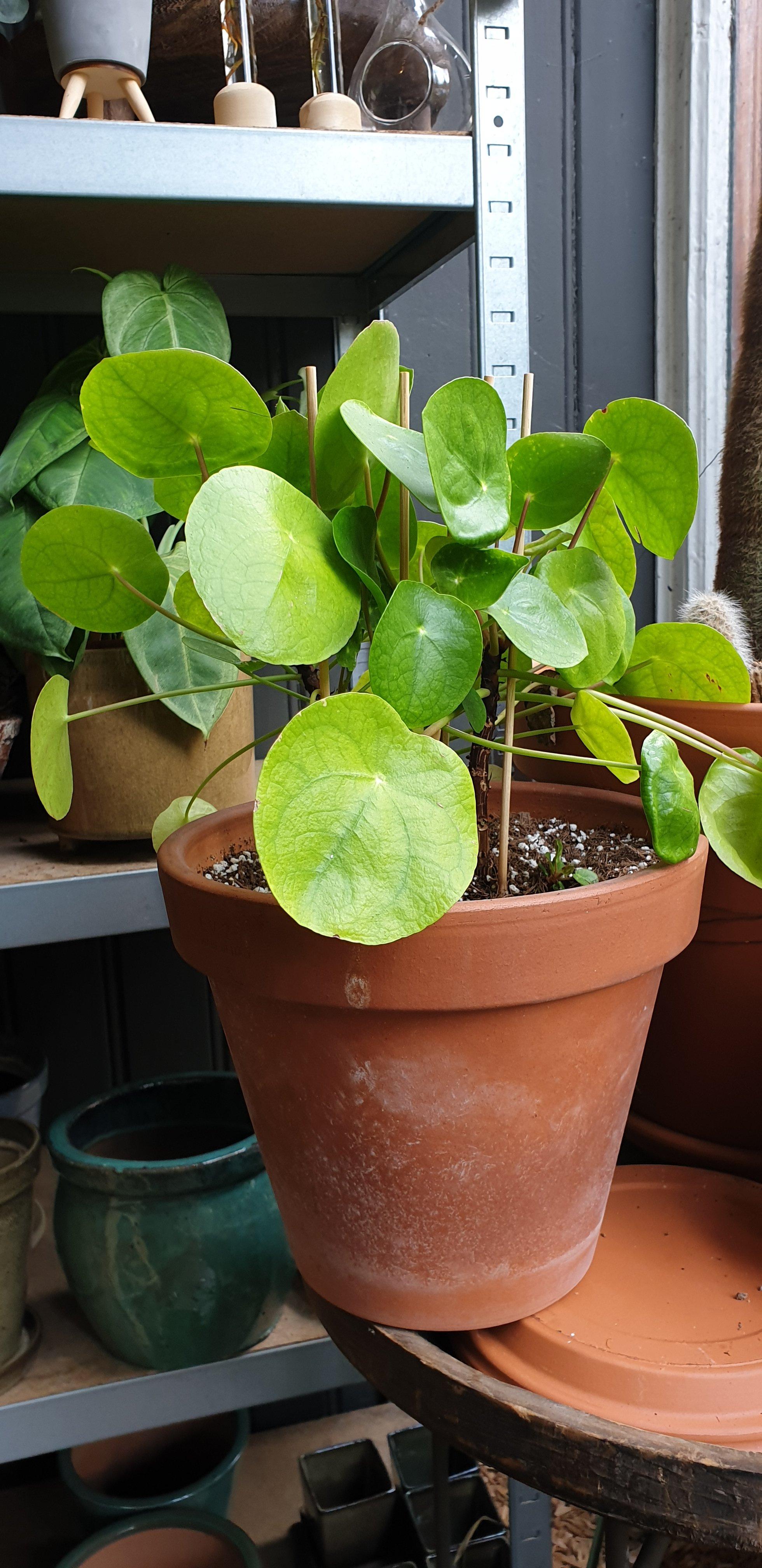 Ter adoptie: Pannekoekenplant