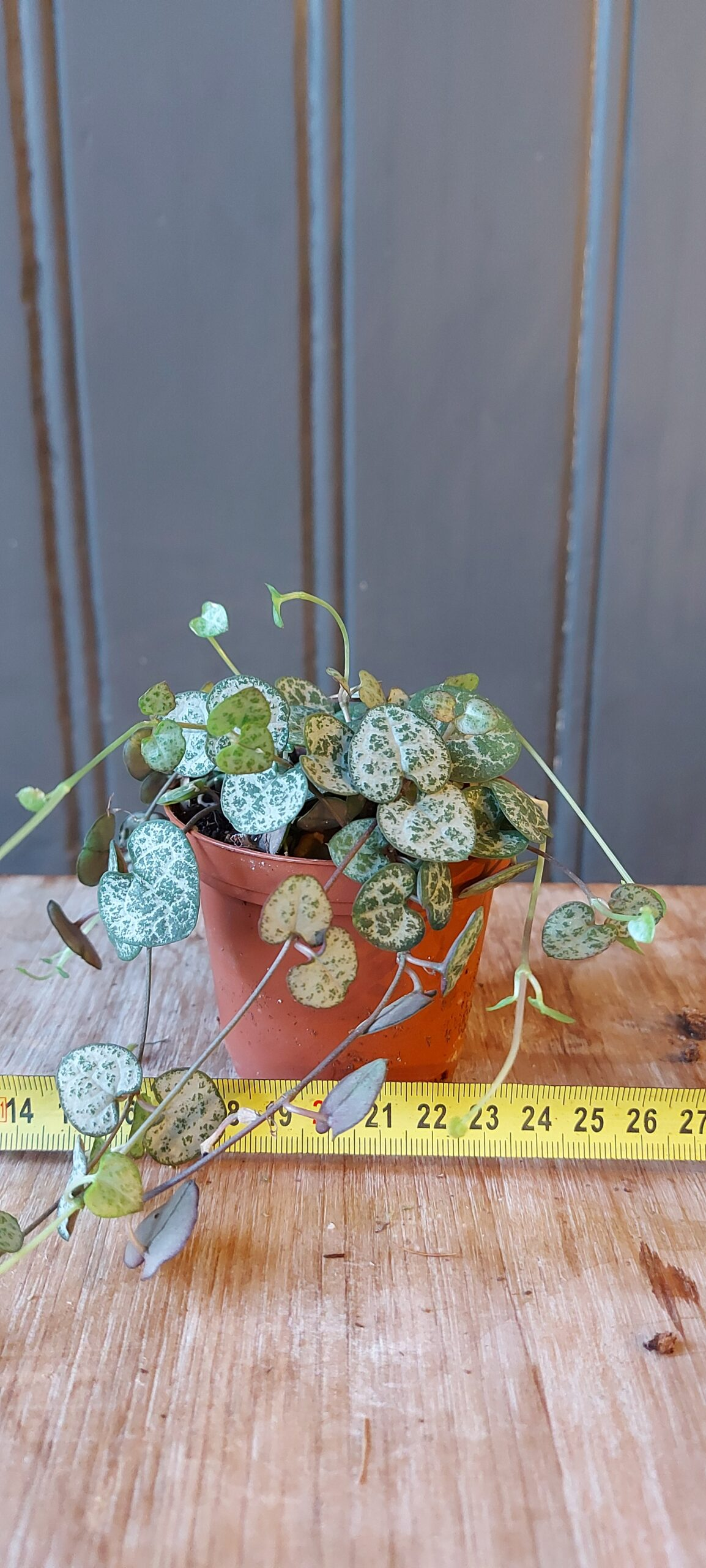Ceropegia woodii / Chinees lantarentje / String of Hearts